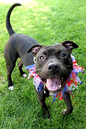 Fourth of July black pit bull terrier wearing a red, white and blue collar