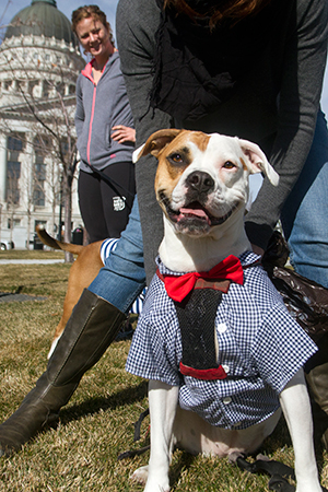 Fourth of July brown and white pit bull terrier dressed with a bow tie in front of a Capitol