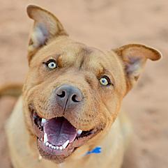 Smiling pit-bull-terrier-type dog