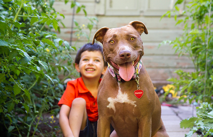 Young boy with smiling brown pit bull terrier dog
