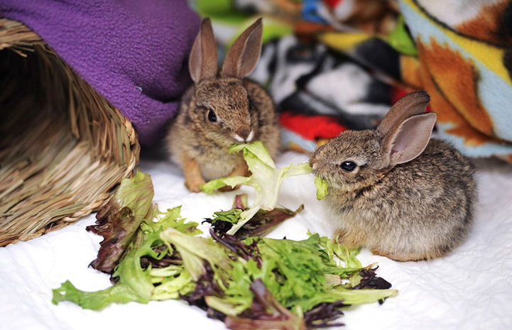 Baby cottontails eating lettuce