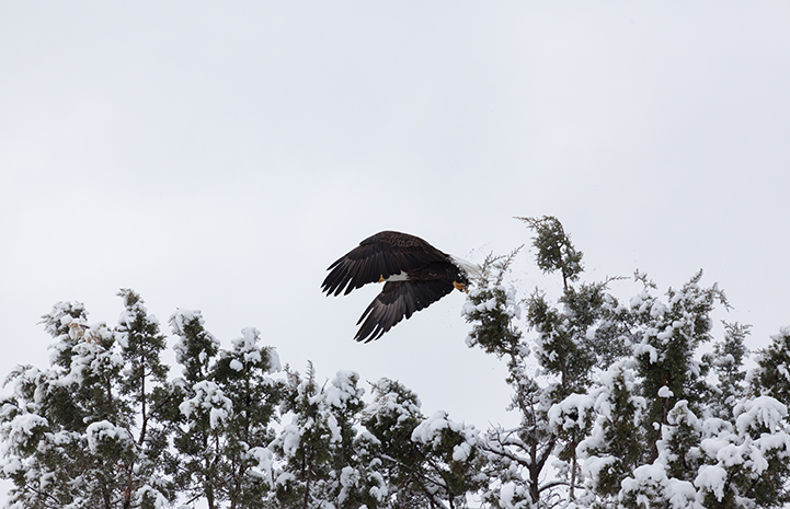 Bald eagle taking off from the trees
