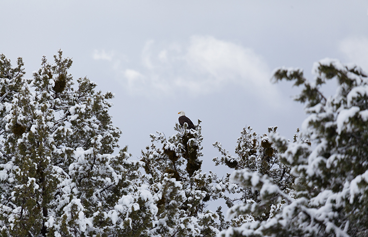 Bald eagle in the trees
