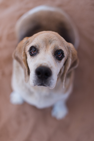 Gus the overweight beagle arrived at the Sanctuary at 77 pounds