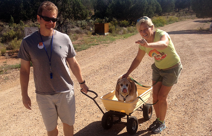 Gus the overweight (truthfully, on-the-fat side) beagle riding in a wagon