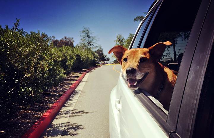Chance the German shepherd mix enjoying a car ride