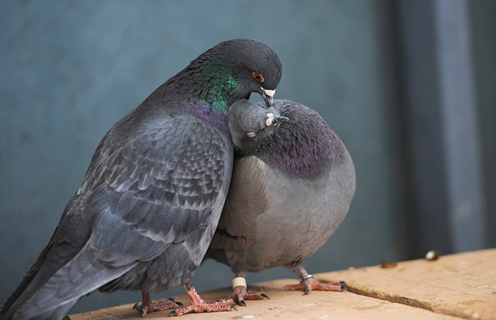 Best Friends Day 2016: Pair of pigeons