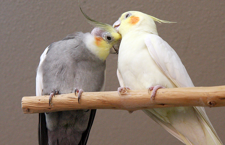 Best Friends Day 2016: Pair of cockatiels grooming each other