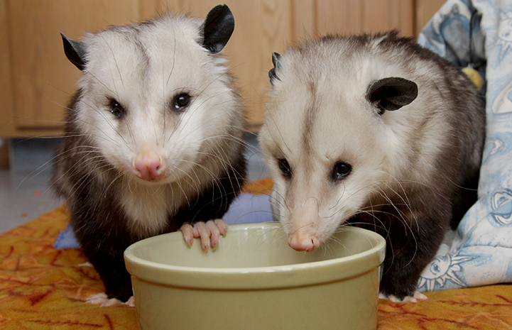 Best Friends Day 2016: Pair of opossums eating