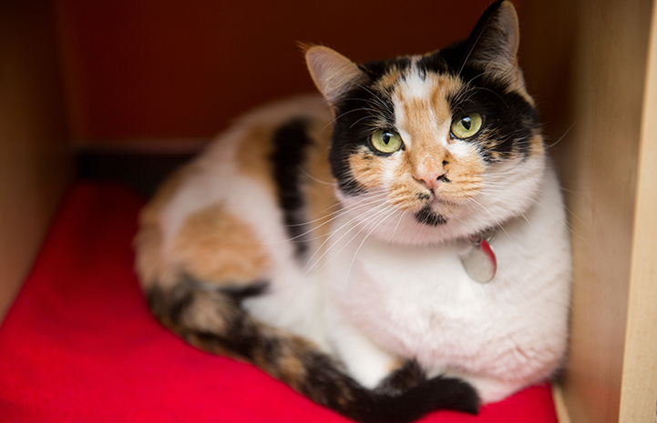Betsy the calico cat