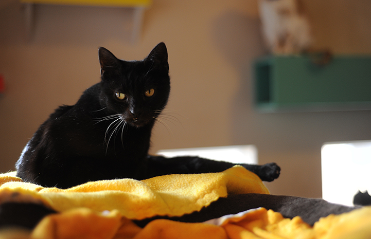 Brad the black cat is available for adoption