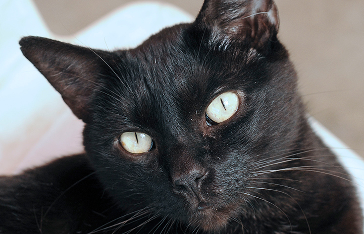 Dartanyon the black cat is available for adoption