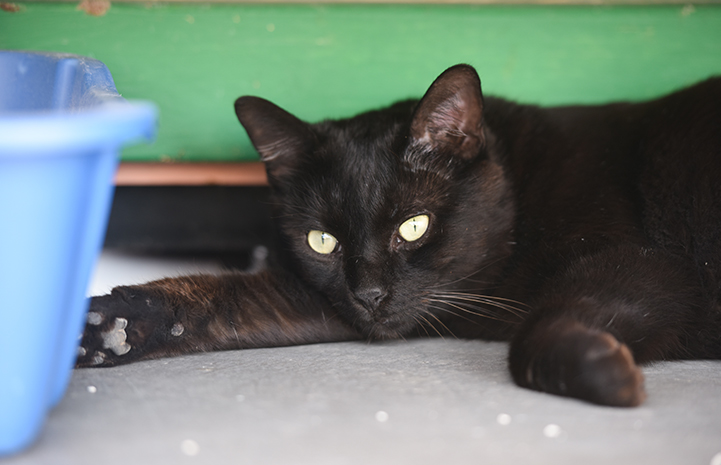 Ebenezer the black cat is available for adoption