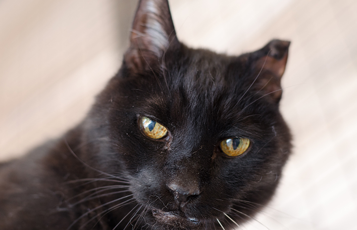 Rhett the black cat is available for adoption