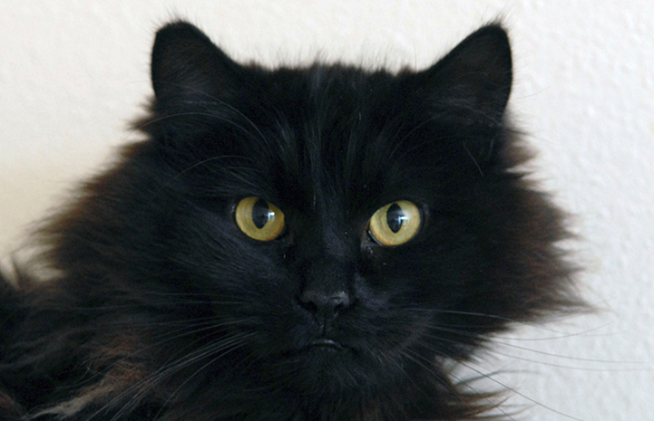 Vince the black cat is available for adoption
