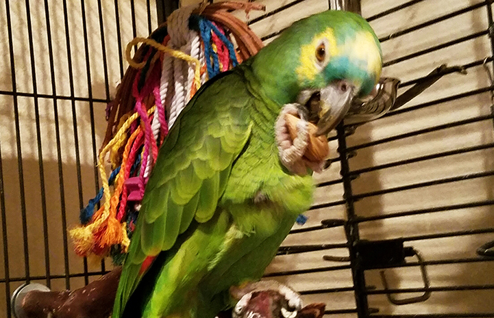 Roz the blue-fronted Amazon parrot with an almond