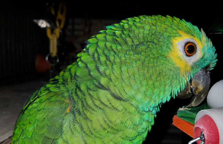 Roz the blue-fronted Amazon parrot's beautiful plumage