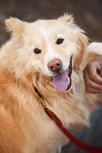 Bodin the golden retriever mix who has trouble with food guarding looks much like a teddy bear