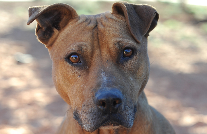 "Pretty Girl the dog who was forced into the cruel ""blood sport"" of dogfighting"
