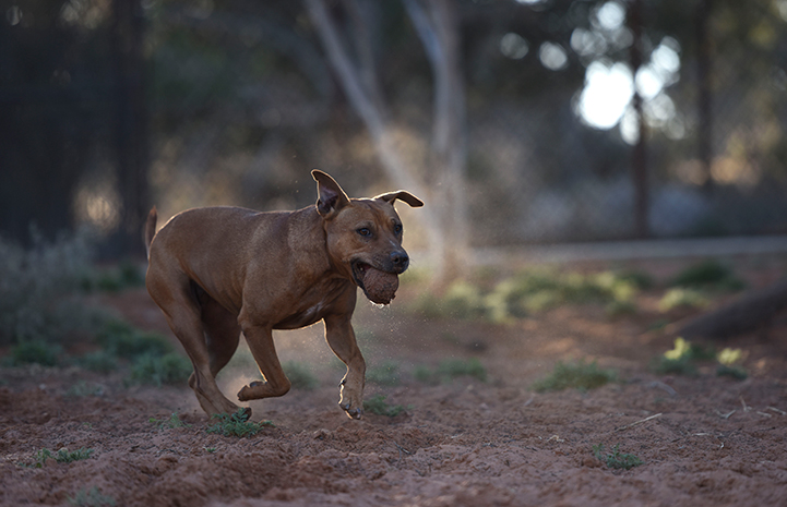 Pretty Girl, a former fighting dog, playing with a ball