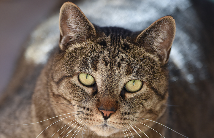 Allen the 'undercat' came to Best Friends with a scary-sounding diagnosis: feline plasma cell pododermatitis