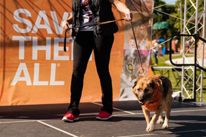 Kristina saw Celeste the shepherd mix at Strut Your Mutt and fell in love
