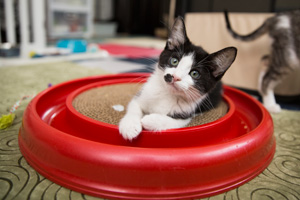 Adopting Legolas, a cerebellar hypoplasia (CH) kitten, seemed only natural