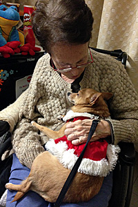 When she's volunteering, Foxi the Chihuahua's only job is to sit on people's laps