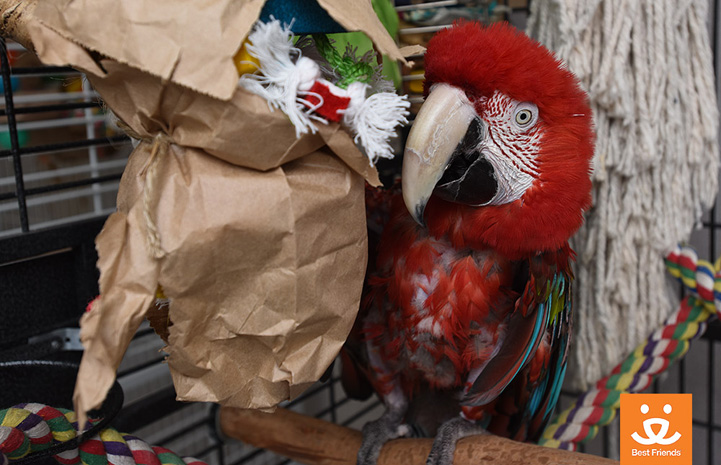 Though Willie the green-winged macaw is almost 50 years old, he still loves toys