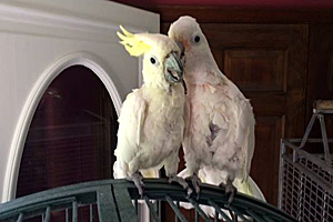 Cockatoos Houdini and Kaccia (now Melanie) are soul mates
