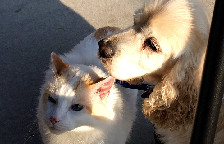 Ted the cocker spaniel and his best buddy Winslow the cat