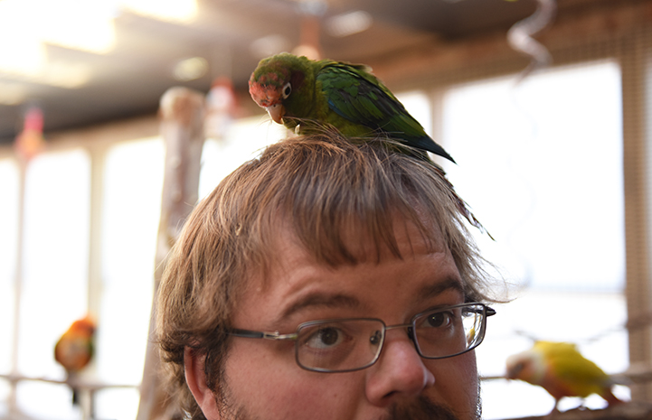 Strawberry the conure parrot climbs on Matt