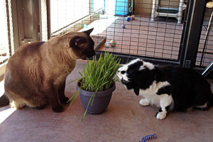 Spencer and Matisse the cats nibble on some cat grass together