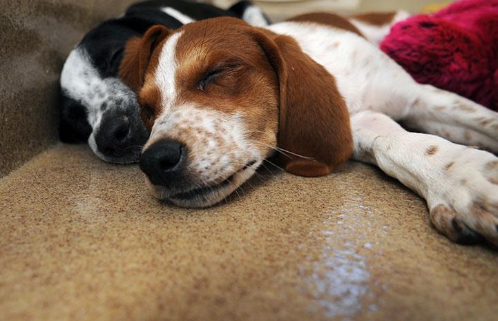 Penn and Wish, sleeping puppies