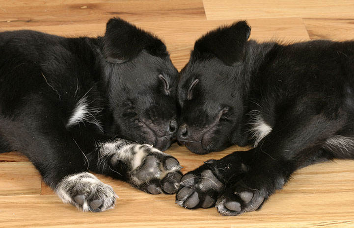 Two black and white puppies sleeping together