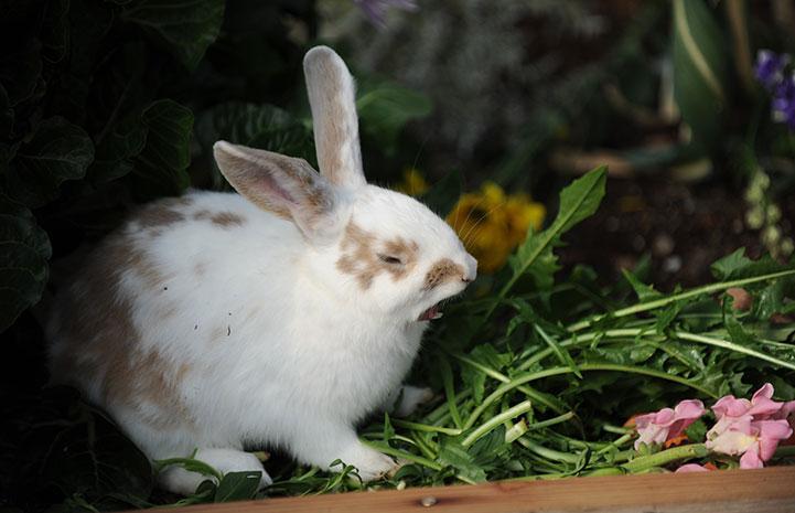 XuiLi the rabbit yawning