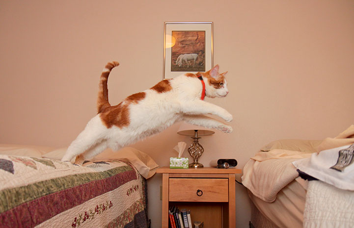 Orange and white cat leaping from one bed to another during a sleepover