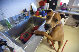 Exuberant dog named Guy in the kitchen, with his paw up on the sink
