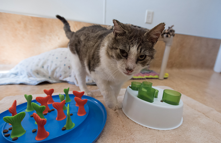 Eli the cat eagerly awaits his food puzzle each morning