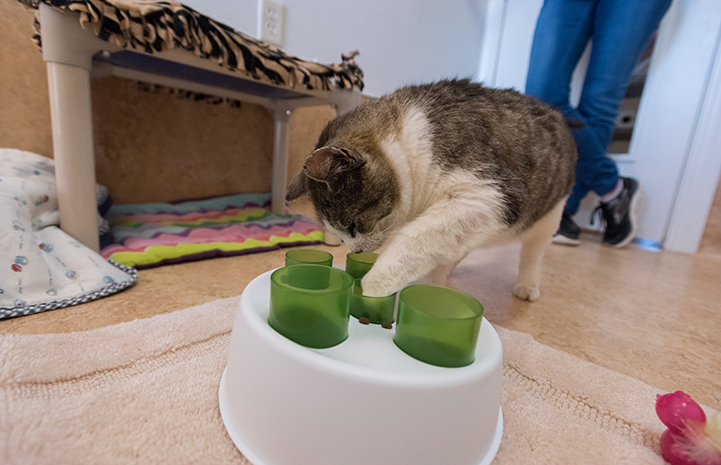 Food puzzles are helping Eli the cat with his appetite