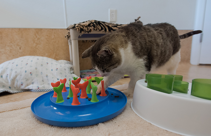 For Eli the cat, food puzzles have been life-changing