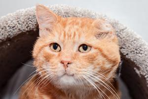 Sweet Cheeks the FIV-positive cat