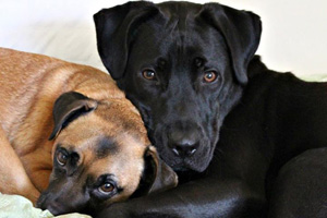 Christopher the black Labrador retriever is now renamed Otis in his new home