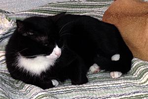 Panda the tuxedo tomcat snuggling with Sadie the pug