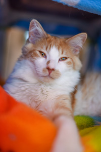 Handsome Indiana, with his orange-and-cream-colored fur