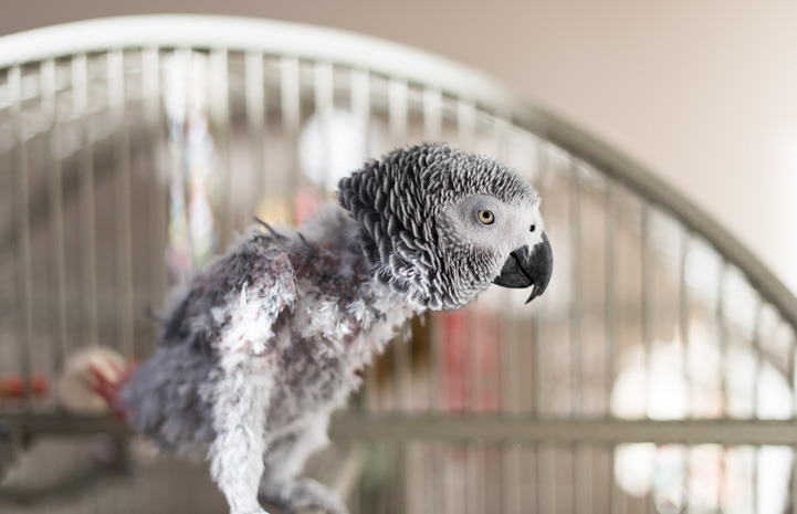 Gregory, the African grey at the Parrot Garden, is a feather picker