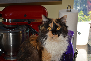Roxie, who looks like a princess with her soft, shiny calico fur and her big gold eyes