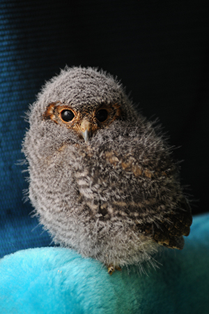 The little fledgling flammulated owl