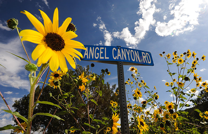 Angel Canyon Road sign with sunflowers