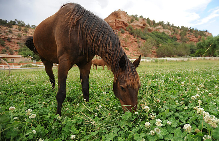 Marshall the horse eating clover